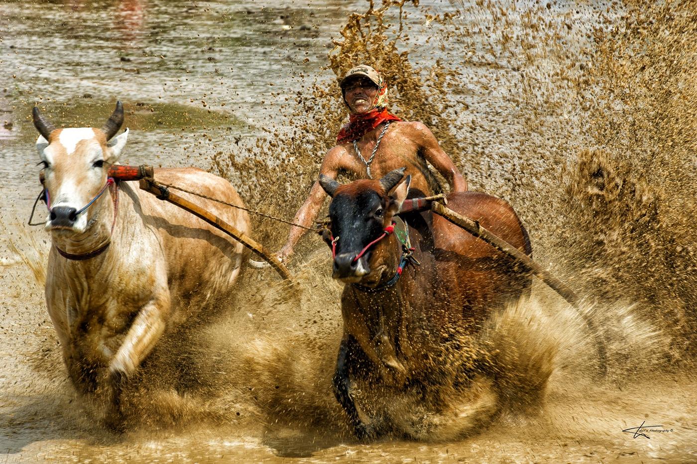 Pacu-Jawi-Bull-Racing-2012_0089-Edit-copy