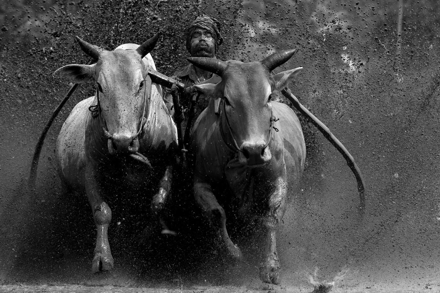 Pacu-Jawi-Bull-Racing-2012_0324-Edit-2-Edit-copy