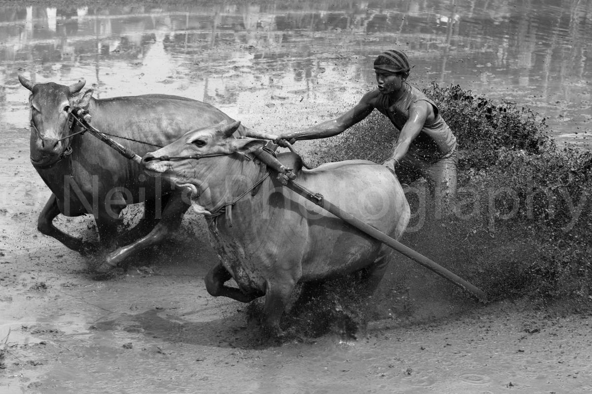 Pacu-Jawi-Bull-Racing-2012_0627-Edit-Edit